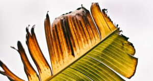 Media_burnout_leaf