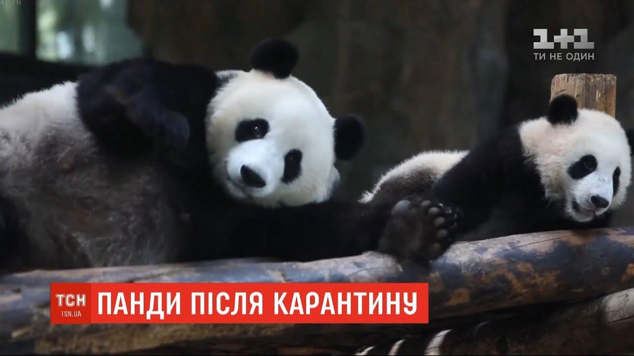 Із сюжету про панд на каналі «1+1».